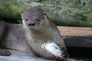 Brazilian River Otter