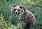 餓到受不了?棕熊殺死鑽油工還啃光內臟