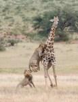 雙獅獵殺長頸鹿 生死激鬥40分鐘