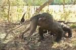 《有影慎入》真實版「侏儸紀公園」 科摩多龍大口吞猴!