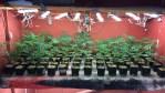 警方「嗅」出千顆大麻植物