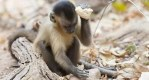 """巴西猴子大量使用石製工具,被認為3000年前就已進入""""石器時代"""""""