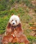 大熊貓寶寶百日宴 陸展繁育成果