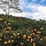 疫期增免疫力 秘魯前8月柑橘類水果出口額已超去年全年
