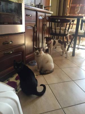 terier brazylijski koty