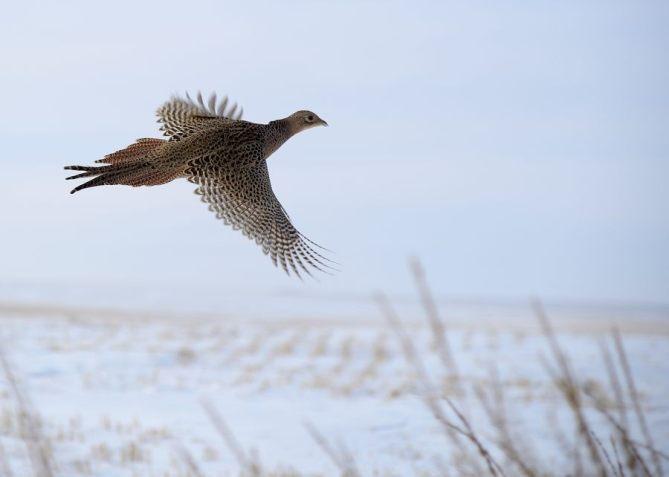 Pheasant hen.