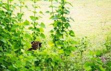 Elusive Leopard - Yala National Park