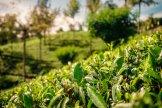 Tea Plantation in Nuwara Eliya - Sri Lanka