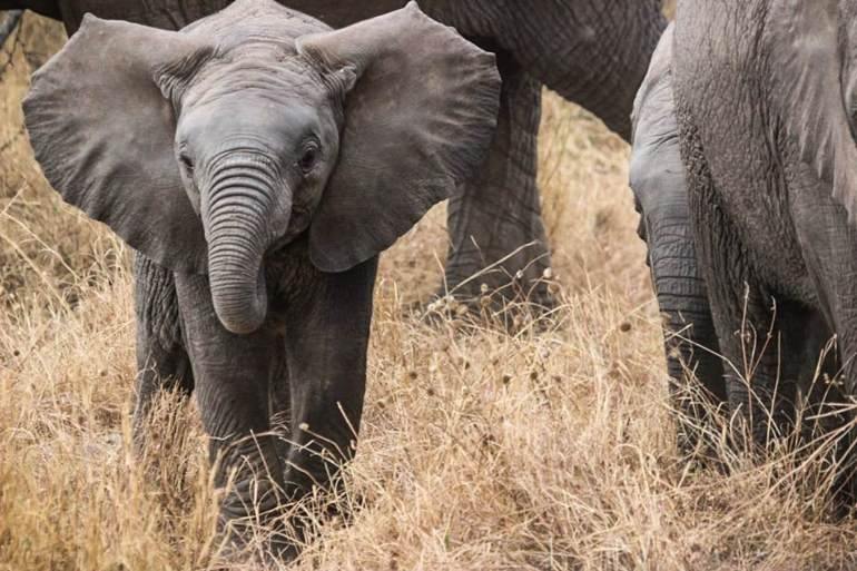 elephant-baby-safari-elephants-africa-59840.jpeg