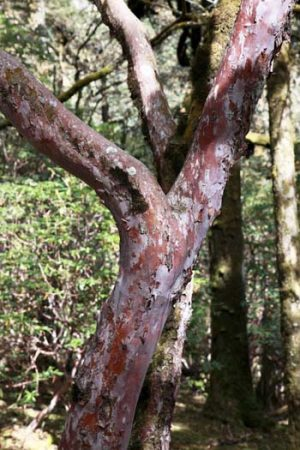 Rhododendron Trunk