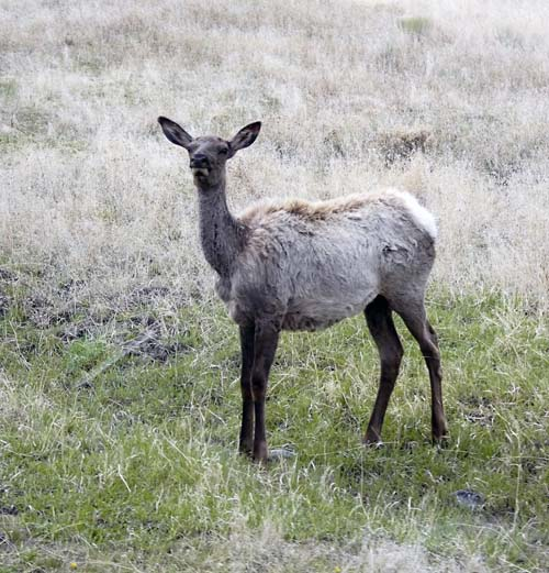 Elk losing its winter coat, Yellowstone National Park