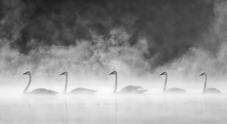 Trumpeter Swan Picture 001