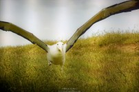 This is a picture of 'picture of Albatross' :p