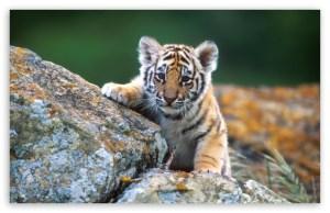 tiger_cub-t2