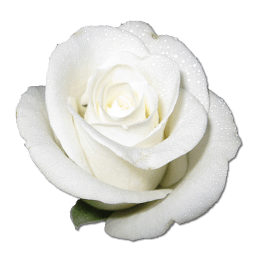 White-Roses-PNG-00656