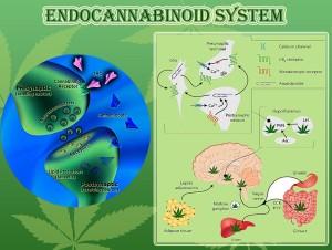 endocabbinoid ssystem