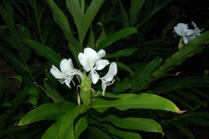 Ginger Plant In Breast Cancer Garden With Flowers