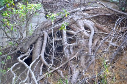 Tree roots in Hollywood Bowl