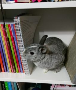 Photo of my grey and white rabbit, sat on a bookshelf with my textbooks and folder.