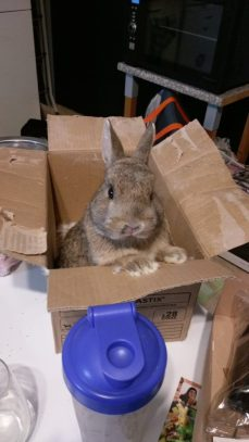 Photo of Breakfast the bunny popping his head out of a cardboard box.