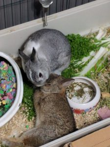 Photo of Hulk and Breakfast, my bunnies; Hulk is grooming Breakfast.
