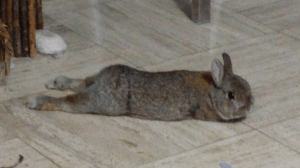 Picture of Breakfast the bunny splooting, aka lying with his legs stretched way behind him