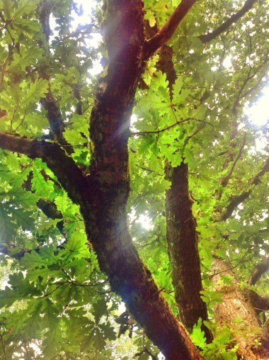 Green oak, Gore Glen, Midlothian