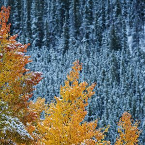 Breckenridge Law Aspens in Fall and Winter
