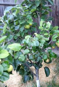 asian_pears_june_2016a