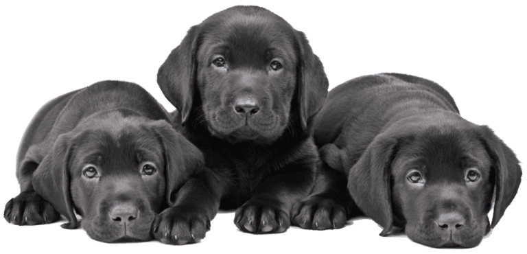 Dogs And Puppies For Sale In Orlando Florida Breeder S Pick