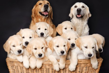 Genetics  Parents  Filiation   Environment in Dog Breeding
