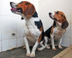 dna modified beagles muscles