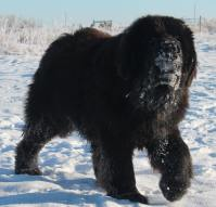 Heaven On Earth Newfoundlands In The Snow