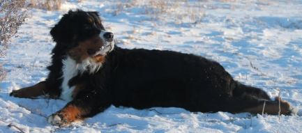 bernese mountain dog lying down