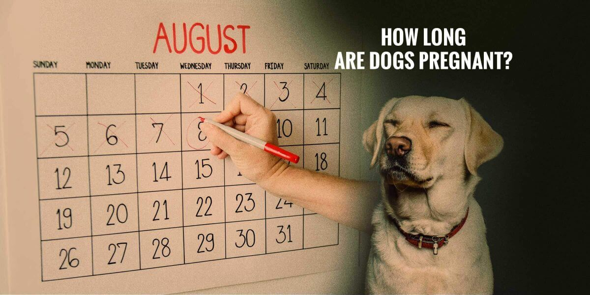 How Long Are Dogs Pregnant Breeding Business