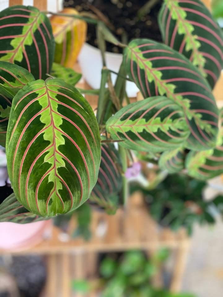 Houseplant Spotlight: Prayer Plant