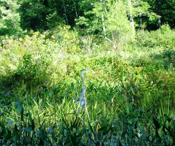The heron shows us the way