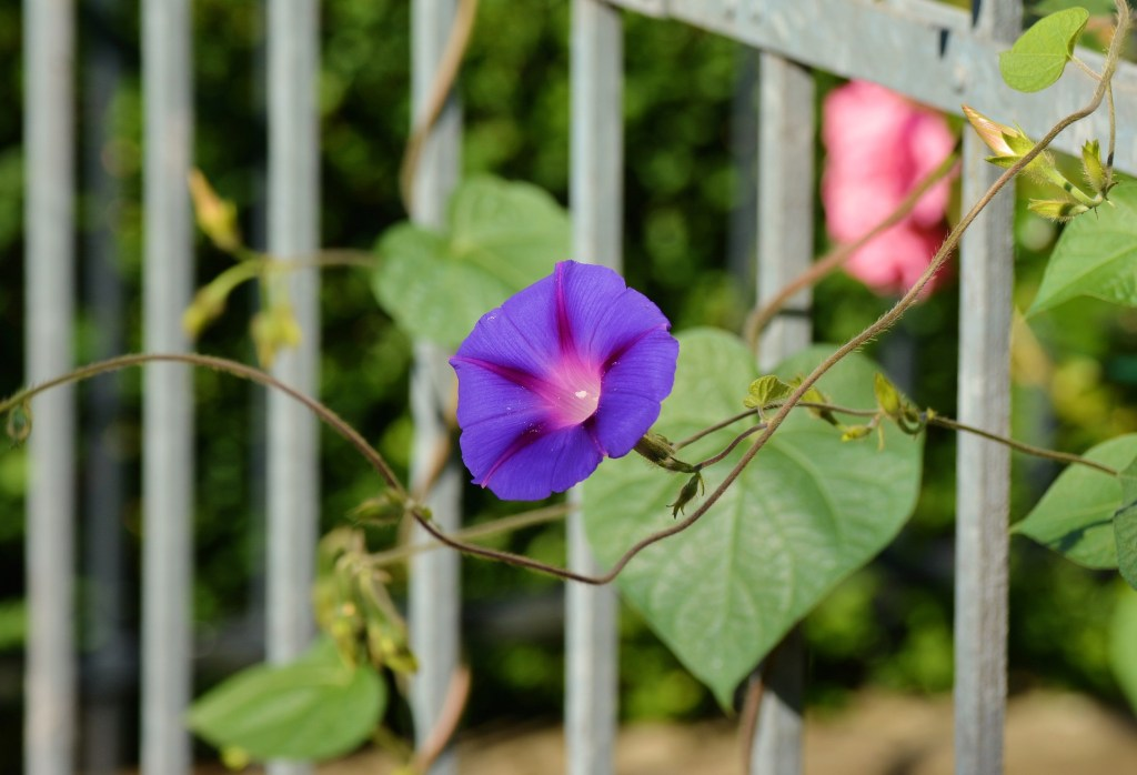 morning glory on fence