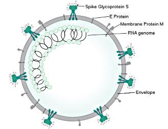 SPQR10's illustration of a SARSr-CoV virion. (2020)
