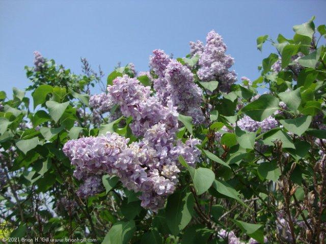 Lilacs. Blue Sky. Sauk Centre.