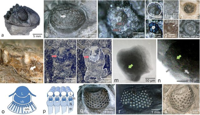 From 'A 390 million-year-old hyper-compound eye in Devonian phacopid trilobites,' B. Schoenemann et al., figure 4. Structure of the visual unit of phacopid trilobites. Scientific Reports (September 30, 2021)