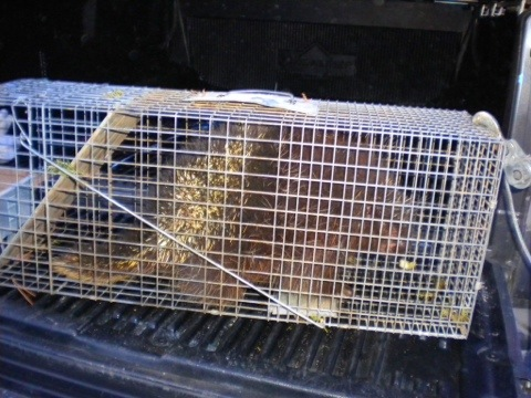 Porcupine in the trap