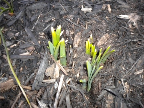Bulbs coming up - February 20, 2012