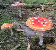 Brennender Schuh - Fliegenpilze Bilder Wald Fotos 2014 (7)