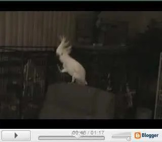 Dancing Bird Video