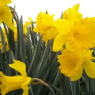 Daffodils blowing in the wind