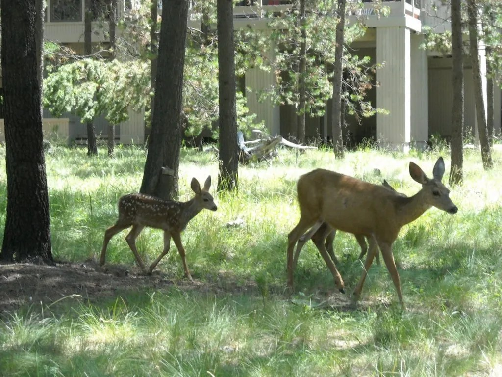 A doe with her fawns