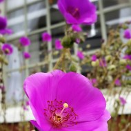 Mendocino flowers