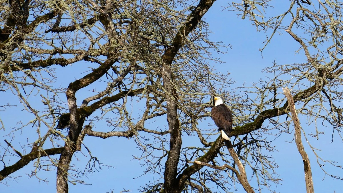 Bald eagle in the green space