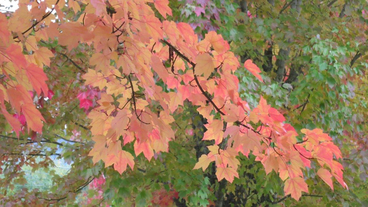 Still more fall leaves